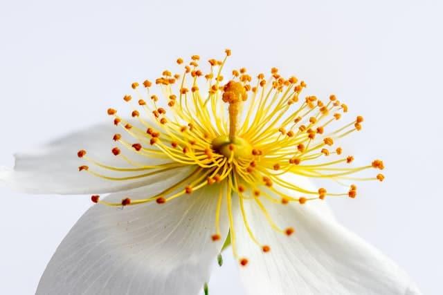 Photo macro d'un pistil et d'une fleur qui se déploie évocatrice du processus d'individuation de la Maïeusthésie
